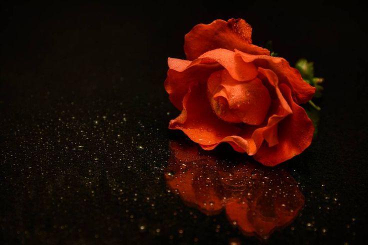 Wir wünschen Euch einen schönen Abend #greenape #makesyourlifebetter #micha #speyer #rheinlandpfalz #dorit #alex #cloppenburg #löningen #niedersachsen #rose #spiegelung #reflection #wasser #experiment #nikon