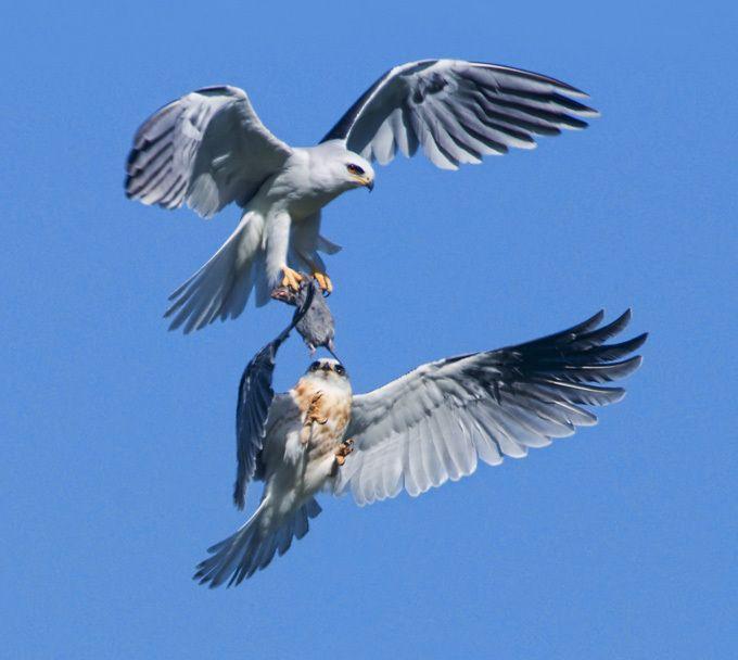Águilas peleando en el aire por comida