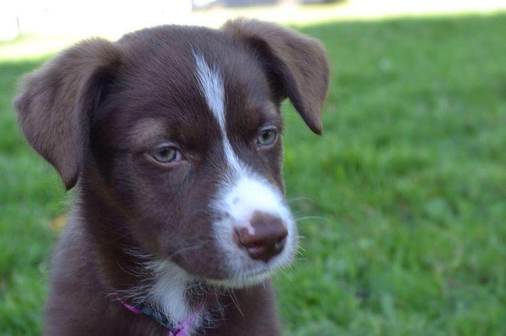 Marley as a mushkadoodle pup :)