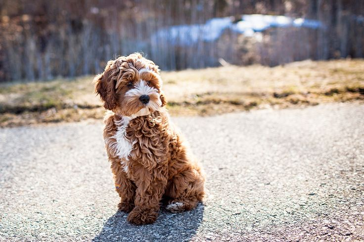 Tessa the Cockapoo Puppy by Happy Tails Pet Photography | Pretty Fluffy