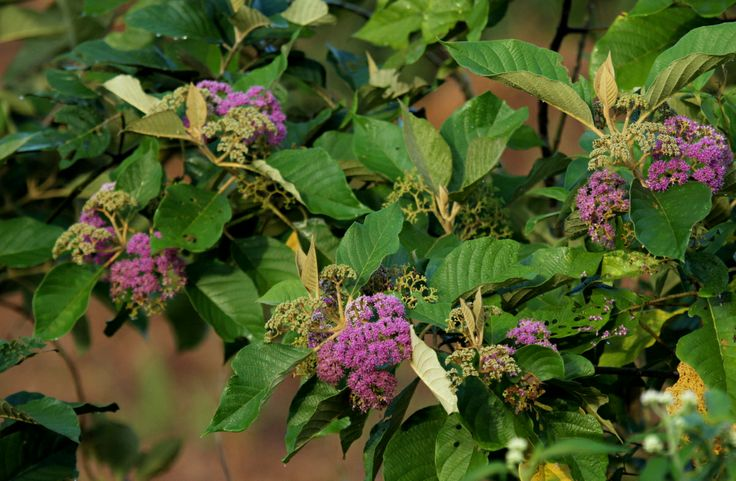 A beautiful pioneer species in purple bloom, Tempe tempe (Callicarpa pentandra)