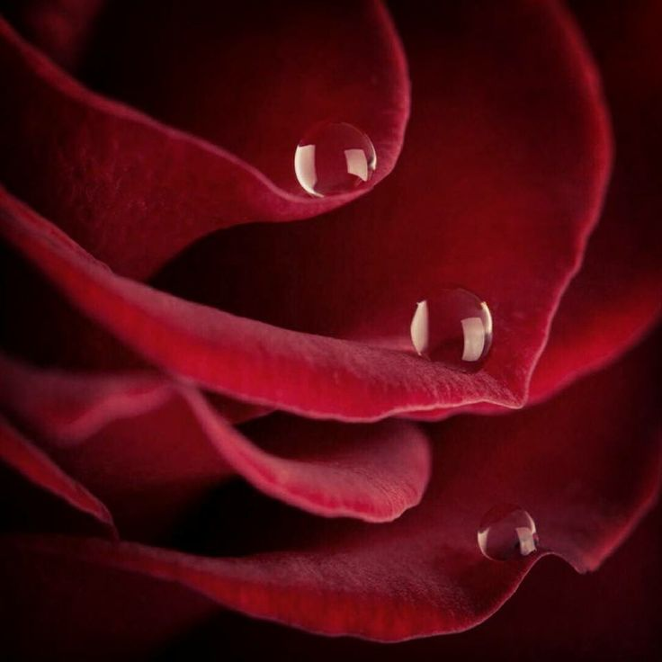 35 best roses images on pinterest red roses blossoms and amazing rain drops on rose petals altavistaventures Images