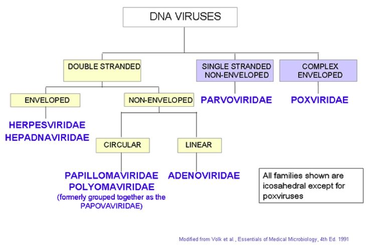 Virus Classification Chart | ... Test3 > Flashcards > Viral Structure and Classification | StudyBlue
