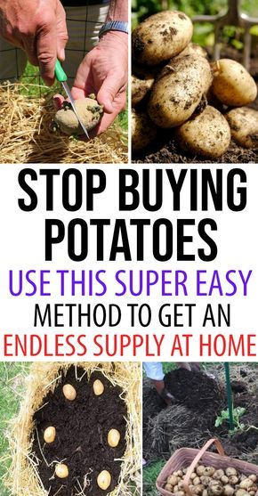 Forestall Purchasing Potatoes. Use This Tremendous Simple Approach to Get an Never-ending Provide at You House