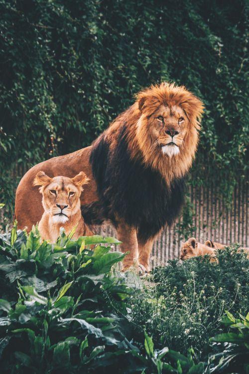 les 1219 meilleures images du tableau lions sur pinterest