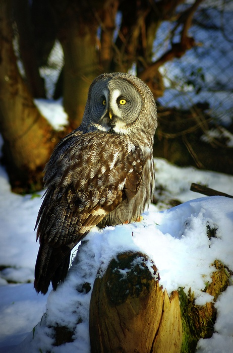 This is a Lapland Owl. Lapland is a collective term for the northernmost part of Fennoscandia (Sweden, Finland, Norway and the Russian Kola peninsula)