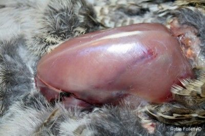 How to clean a partridge / grouse in two minutes. #hunting