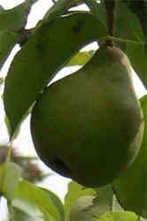 Pear and Lemon Jam Recipe