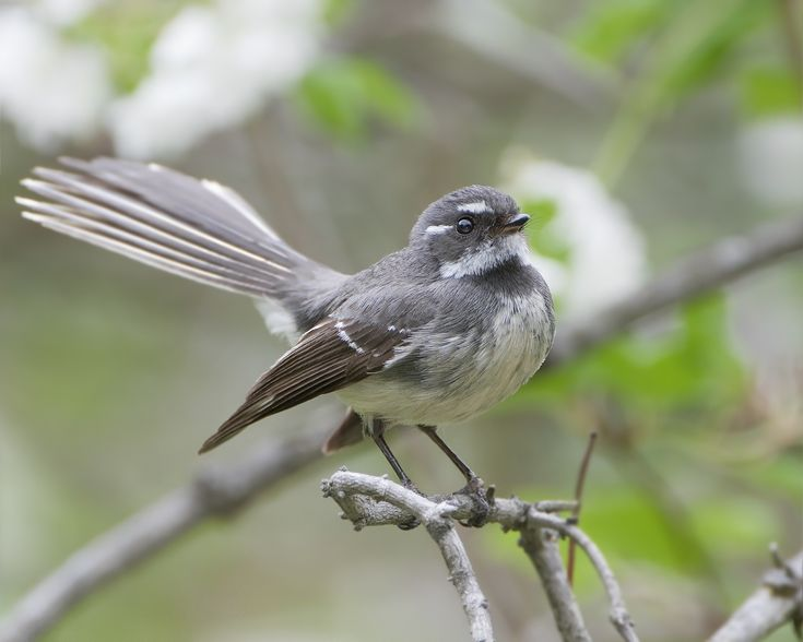 sitting fantail looking up - Google Search