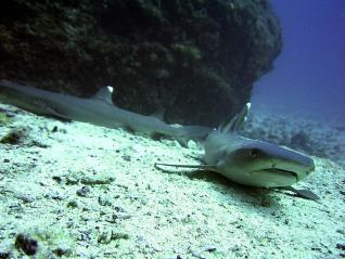 25 especies de tiburones, rayas y quimeras nadan por nuestras costas. http://www.laopiniondemurcia.es/…/hallan-25-esp…/707800.html  Ejemplar de tiburón.