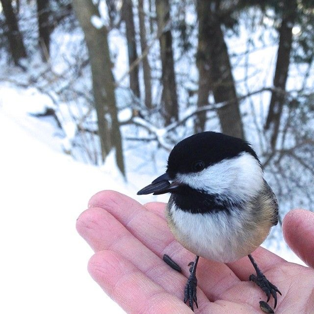 Chickadee, Township Of Woolwich, ON