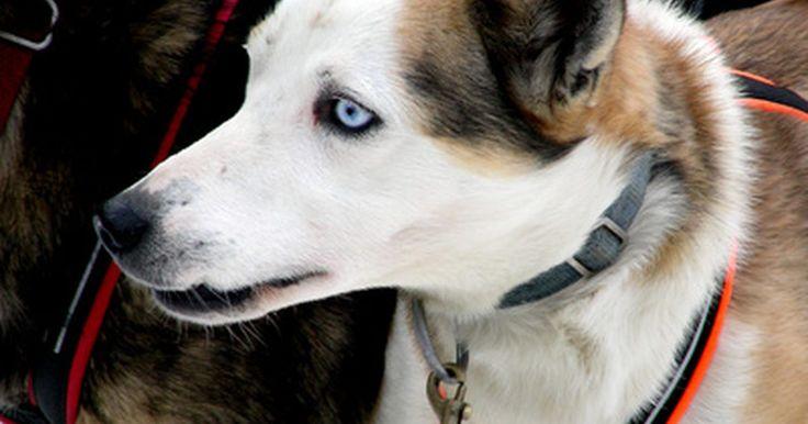 Por que alguns cães possuem um olho azul?. A condição de ter apenas um olho azul é chamada de heterochromia iridum. É uma anomalia genética causada por uma falta parcial ou completa de pigmentação na íris do olho de um cão. Enquanto ela não está necessariamente ligada a problemas no sistema nervoso ou outros defeitos, dálmatas com um olho azul e outro castanho - e outros animais, como ...