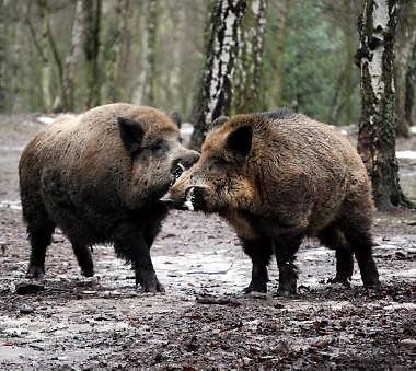 Good Bildergebnis f r wildschweine keiler