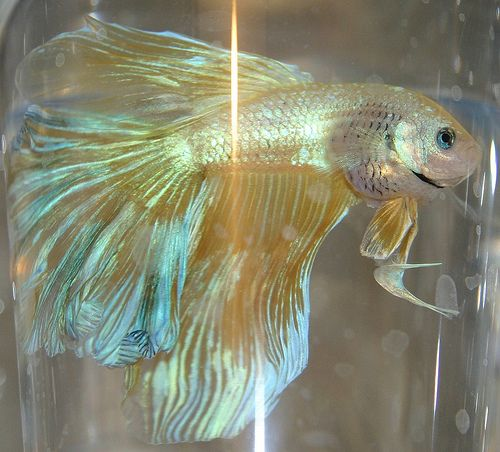 how to cure a bloated betta fish