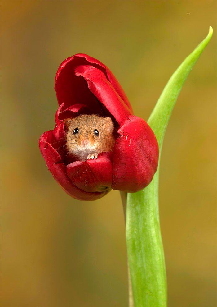 Des souris dans des tulipes ? Ce photographe a décidé d'en faire sa spécialité… et c'est vraiment très mignon