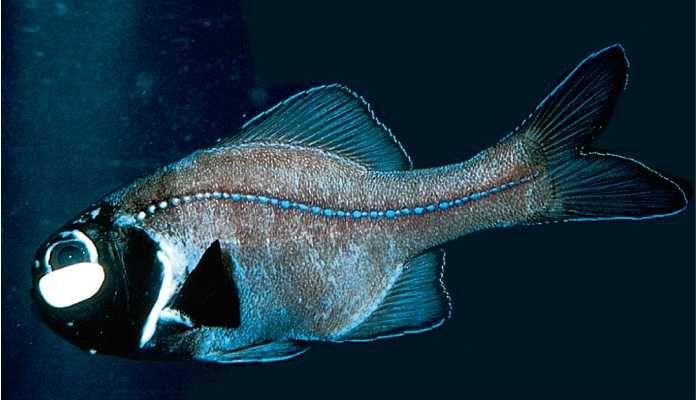 Flashlight fish story planning pinterest deep water for Deep water fish
