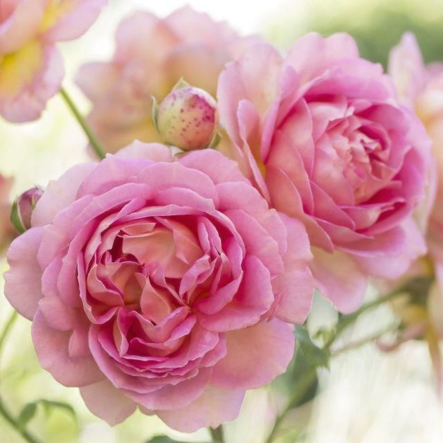 Rosenbilder zum Verlieben als Kunstdruck oder Leinwandbild