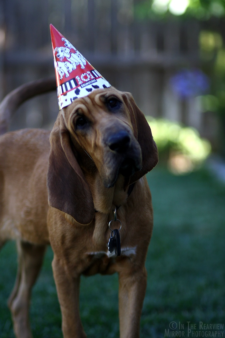 108 Best Images About Bloodhound On Pinterest