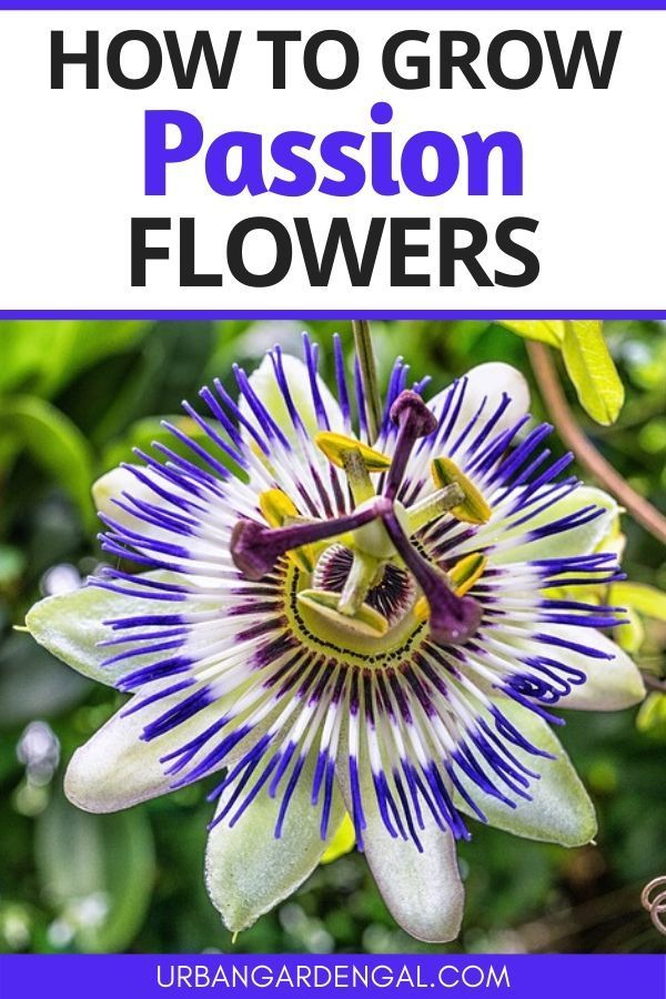 How To Grow Passion Flowers In 2020 Passion Flower Flowers Perennials Passion Flower Plant