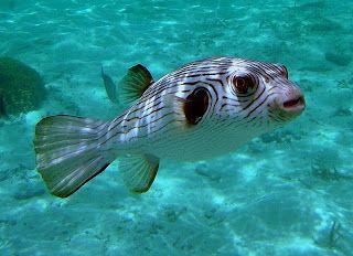 Striped Dogface Puffer (Arothron manilensis) é um baiacu encontrado no oeste do Pacífico, Bornéu, Filipinas, Austrália e noroeste de Samoa, ao norte das ilhas de Ryukyu, no Japão, ao sul de New South Wales, na Austrália e Tonga.