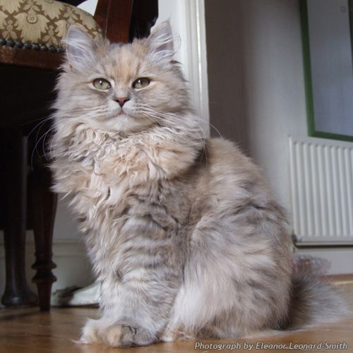 Blue Tortie Tabby Siberian Forest cat