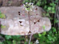 Αγριοκαρδαμούδα-Capsella bursa-pastoris Άλλες ονομασίες: Αγριοκάρδαμο, τζουρκάς, ραγιάς Οικογένεια: Brassicaceae