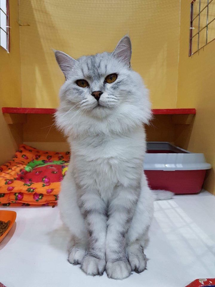 SILVERFOX - Rescue And Rehoming Persian And Other Pedigree Cats