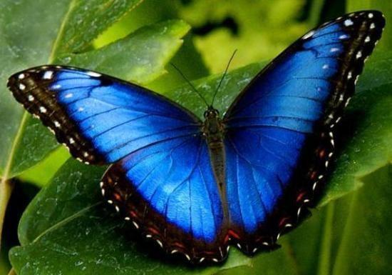 Morfo azul (Morpho peleides) Sabía Usted? Cómo las orugas Morfo azules se convierten en mariposas Morfo azules? Como todas las mariposas...