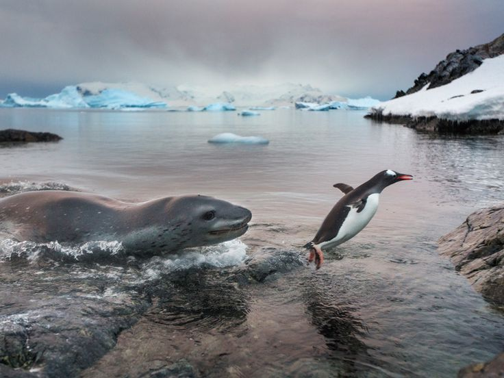 A leopard seal chases a gentoo penguin out of the freezing ...