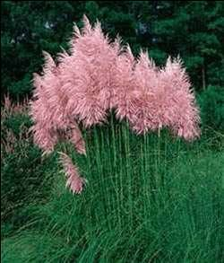 LOVE THIS!   Cotton Candy Pompous Grass - withstands heat, humidity, poor soil and even drought. Very easy to grow, it reaches a mature height of 3-4 feet tall and gets 3-4 feet wide. Grows in all U.S zones.