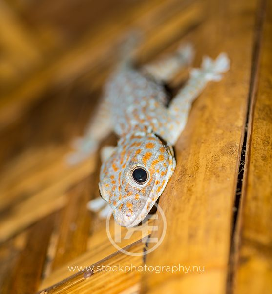 Tokay on a bamboo wall.   © Arno Enzerink / www.stockphotography.nu All rights reserved.