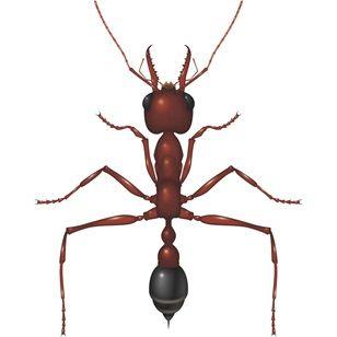 Bulldog Ant - Bayer Pest Control