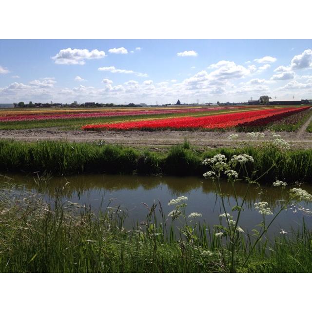 Lisse Hillegom Tulips