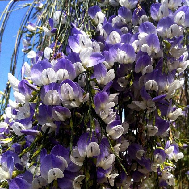 Psoralea fleta is blooming - worth a trip to the nursery just to smell it!