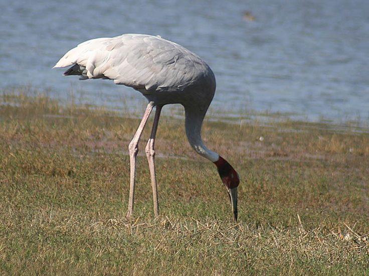 Kanwar Lake Bird Sanctuary - in Bihar, India