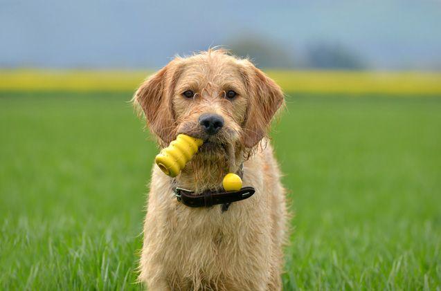 Goldmaraner   Dog breeds   Retriever puppy, Dog breeds, Dogs
