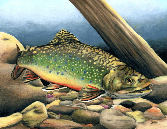 165 Best Brook Trout Images On Pinterest Trout Fishing