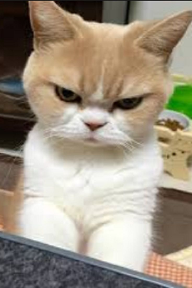 She S Not Mad This Cat Just Has A Perpetual Disapproving Look On Her Face Cats Cute Cats Cats Cute Cats And Kittens