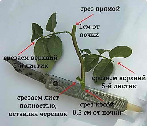 Черенкование розы, способы укоренения | Дача - впрок