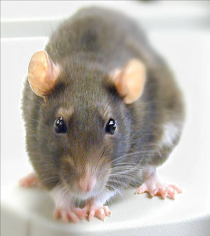 Rats Or Mice In Roof Space Mice Repellent Getting Rid Of Mice Pest Control