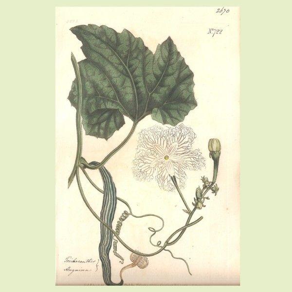 Reproducción original del S.XVIII de los grabados botánicos de flores y plantas en colores blancos, William Curtis, al ser originales, los bordes son irregulares.