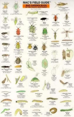 Mac's field guide to good and bad bugs..I have this laminated chart and love it! it is very handy to carry in the garden!