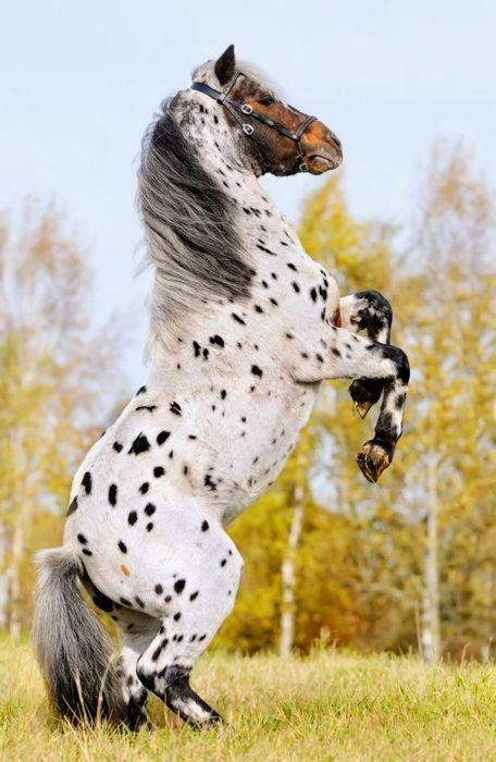 .Appy indian horse Appaloosa horse equine native american pony leopard blanket spotted snow cap