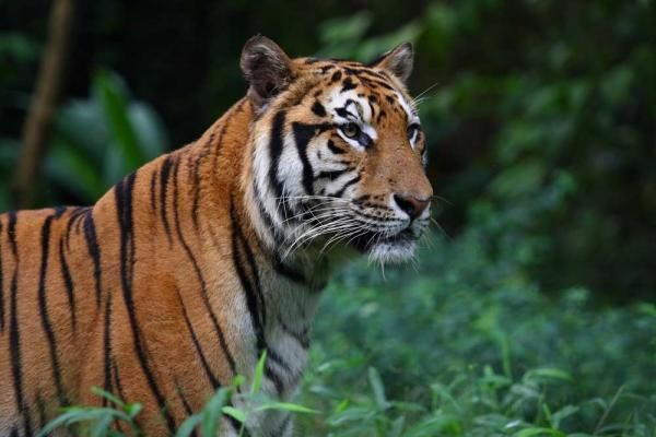 The critically endangered Sumatran tiger possesses the darkest coat of all tigers. Its broad, black stripes are closely spaced and often doubled, and unlike the Siberian tiger, it has striped forelegs.