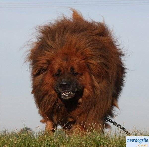 The 25+ best Red tibetan mastiff ideas on Pinterest   Tibetan mastiff price. Tibetan mastiff puppy price and Chinese mastiff