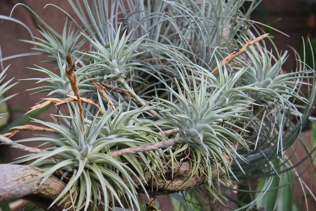 TILLANDSIA VRIESA ESPINOSAE ~ HAVE NOT TRIED YET. ON MY LIST 2017 TO DO SO. ~ LOVE THIS PHOTO UP CLOSE.