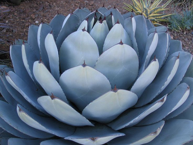 RARE AGAVE PARRYI TRUNCATA succulent artichoke plant exotic garden seed 50 SEEDS FOR SALE • $9.99 • See Photos! Money Back Guarantee. PACKAGE OF 50 SEEDS. Very easy to grow, the seeds were took this season, ., FREE SHIPPING., We have a lot of extremely rare cactus if you want something rare 362085454823