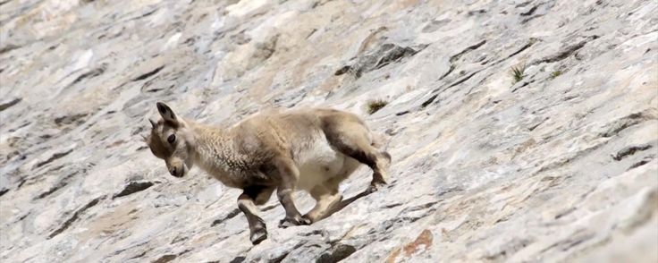 BBC - Earth - Watch daredevil goats defying gravity