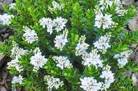 hebe plant - Google Search