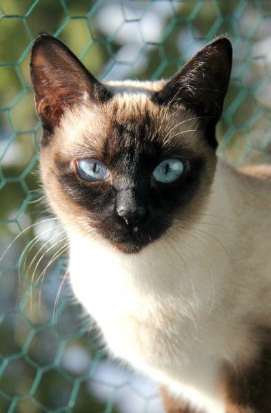 Darkest Blue Eyes Siamese Cats